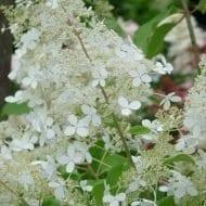 Canada hardy hydrangea-paniculata-brussels-lace