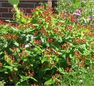 hypericum excellent flair red fruit 190x173 - Hypericum x inodorum 'Excellent Flair'