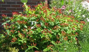 hypericum excellent flair red fruit - Hypericum x inodorum 'Excellent Flair'