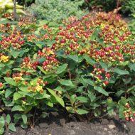 hypericum x inodorum excellent flair fruit 190x190 - Hypericum x inodorum 'Excellent Flair'