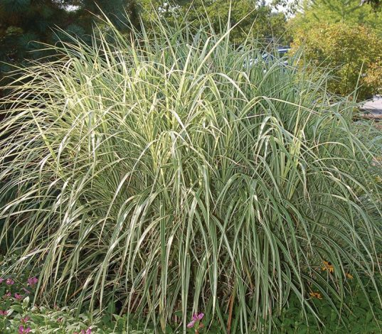 Feather Reed Grass | Calamagrostis acutiflora 'Overdam'