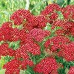 Achillea Red Velvet 150x150 - Achillea millefolium 'Red Velvet'
