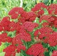 Achillea Red Velvet 190x184 - Achillea millefolium 'Red Velvet'