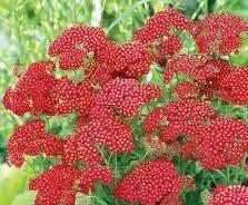 Achillea Red Velvet - Achillea millefolium 'Red Velvet'