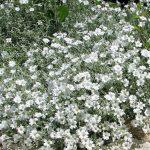 Cerastium tomentosum 150x150 - Cerastium tomentosum