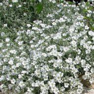 Cerastium tomentosum 190x190 - Cerastium tomentosum