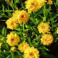 Coreopsis grandiflora Early Sunrise 190x190 - Coreopsis grandiflora 'Early Sunrise'