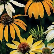 Echinacea purpurea Mellow Yellow 190x190 - Echinacea purpurea 'Mellow Yellows'