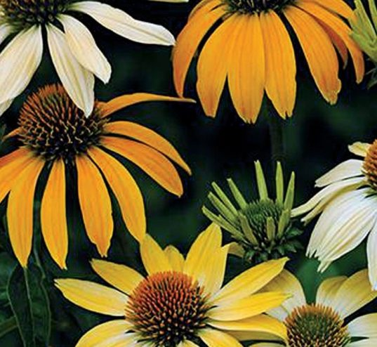 Echinacea purpurea Mellow Yellow 537x494 - Echinacea purpurea 'Mellow Yellows'