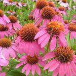 Echinacea purpurea Pow Wow Wild Berry 150x150 - Echinacea purpurea 'PowWow Wild Berry'