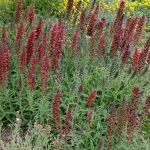 Echium amoenum Red Feathers 150x150 - Echium amoenum 'Red Feathers'