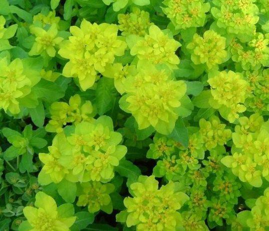 Euphorbia-polychroma