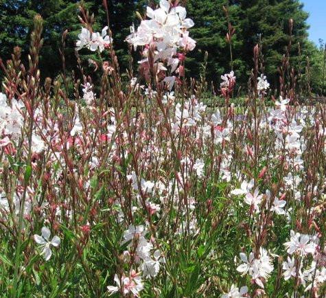 Gaura Sparkle White - Gaura linderheimeri 'Sparkle White'