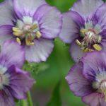 Geranium Lavender Pinwheel 150x150 - Geranium phaeum 'Lavender Pinwheel'