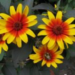 Heliopsis Burning Heart 150x150 - Heliopsis helianthoides  'Burning Hearts'