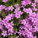 Phlox subulata Pink 150x150 - Phlox subulata 'Emerald Pink'