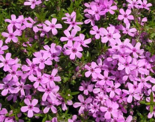 Phlox subulata Pink 537x424 - Phlox subulata 'Emerald Pink'