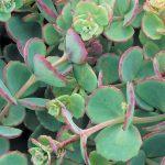 SedumSieboldii 150x150 - Sedum sieboldii 'October Daphne'