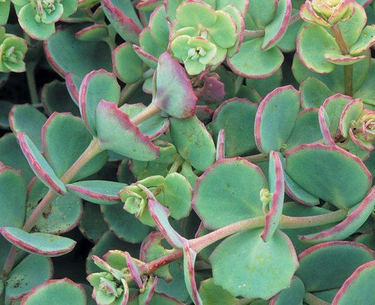 SedumSieboldii 537x438 - Sedum sieboldii 'October Daphne'
