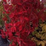 Reddish-pink leaved Virignia Creeper | Parthenocissus quinquefolia 'Murorum'