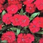 Dianthus deltoides Zing Rose 150x150 - Dianthus deltoides 'Zing Rose'
