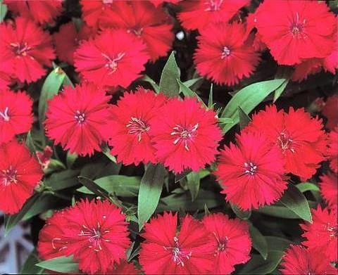 Dianthus deltoides Zing Rose - Dianthus deltoides 'Zing Rose'