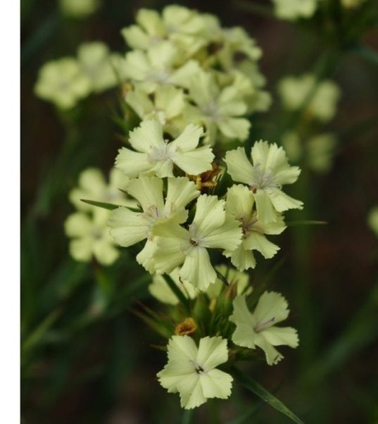 Dianthus-knappi-Yellow-Harmony