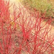 Cornus alba 'Aurea' winter red stems dogwood