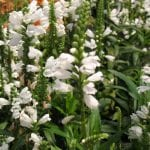 physostegia 150x150 - Physostegia virginiana 'White Crystals'