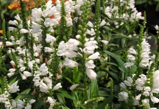 physostegia 537x367 - Physostegia virginiana 'White Crystals'