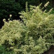 Eleutherococcus sieboldianus variegatus shrub for shade 190x190 - Eleutherococcus sieboldianus 'Variegatus'