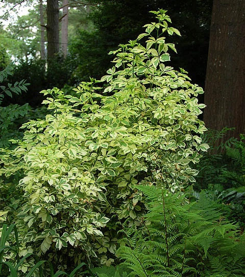 Variegated five-leaf Aralia is perfect to plant in a shady area of your garden. Its variegated leaves are almost as pretty as they come.
