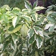 Eleutherococcus sieboldianus variegatus variegated leaves 190x190 - Eleutherococcus sieboldianus 'Variegatus'