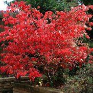 Euonymous Red Cascade shrub 190x190 - Euonymus europaeus 'Red cascade'