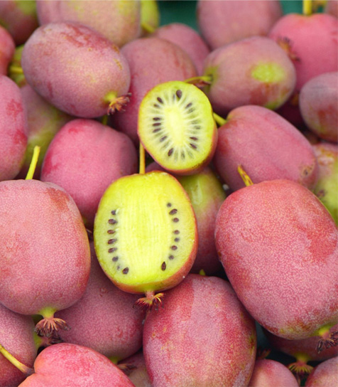 Bingo tara vine plants produce plenty of cosmic red-pink plum colored fruits tht are yellow on the inside with flavor hints of pineapple acidity.