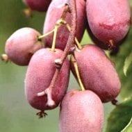 actinidia arguta bingo tara vine plant 190x190 - Actinidia arguta 'Bingo' (female)
