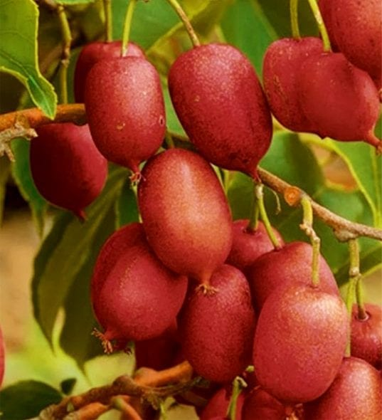 Hardy Red Kiwi plants produce you guessed it