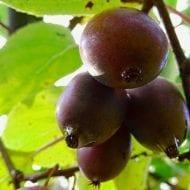 actinidia arguta purpurna sadowa kiwi red flesh 190x190 - Actinidia arguta 'Purpurna Sadowa' (female)