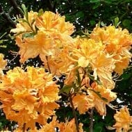 Golden Lights Rhododendron has pretty green leaves that turn purple in the fall to its absolutly gorgeous orange cream colored trumpet flowers