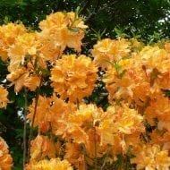 azalea golden lights rhododendron orange bloom 190x190 - Azalea 'Golden Lights'