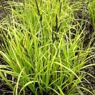 Bowles' Golden Sedge
