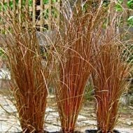 carex flagillifera weeping brown sedge 190x190 - Carex flagellifera