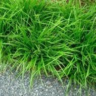 carex morrowii irish green grass japanese 190x190 - Carex morrowii 'Irish green'