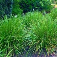 Irish Green Japanese grass sedge has numerous brown flowers and a hardy evergreen bright glossy ornamental green leaves.