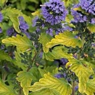 Hint of Gold Bluebeard has broad leaves with beautiful yellow green that nicely contrasts with its lavander purple flowers.
