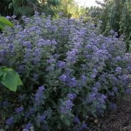 this small blue-flowered shurb has deep blue flowers with dark green aromatic leaves