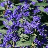 Caryopteris x clandonensis 'Inoveris' GRAND BLEU