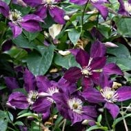 Jackman's Clematis is one of the hardiest varieties. This large-flowered Clematis a reliable bloomer that grows back every year even after the coldest