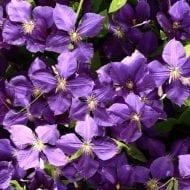 clematis jackmanii purple flower 190x190 - Clematis 'Jackmanii'