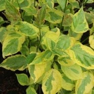 cornus alba gouchaultii golden variegated dogwood 190x190 - Cornus alba 'Gouchaultii'